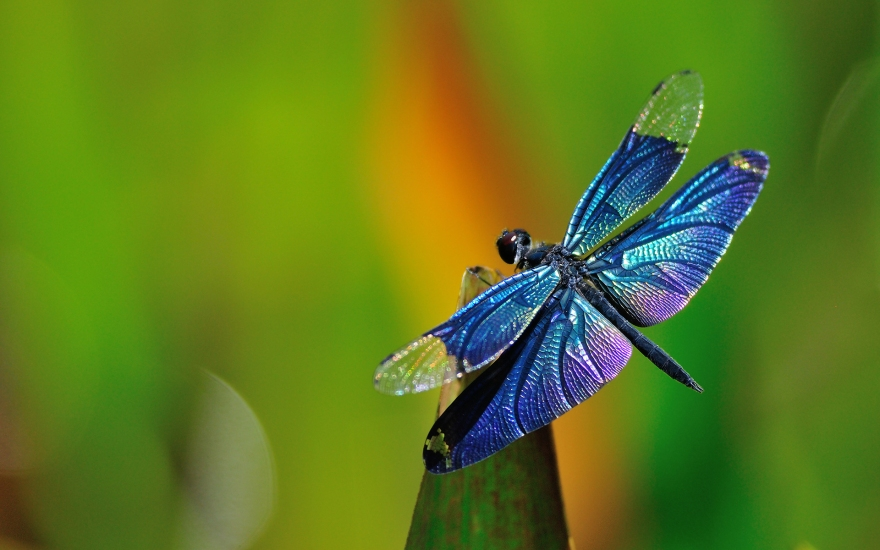 Closeup photo of a blue and purple dragonfly