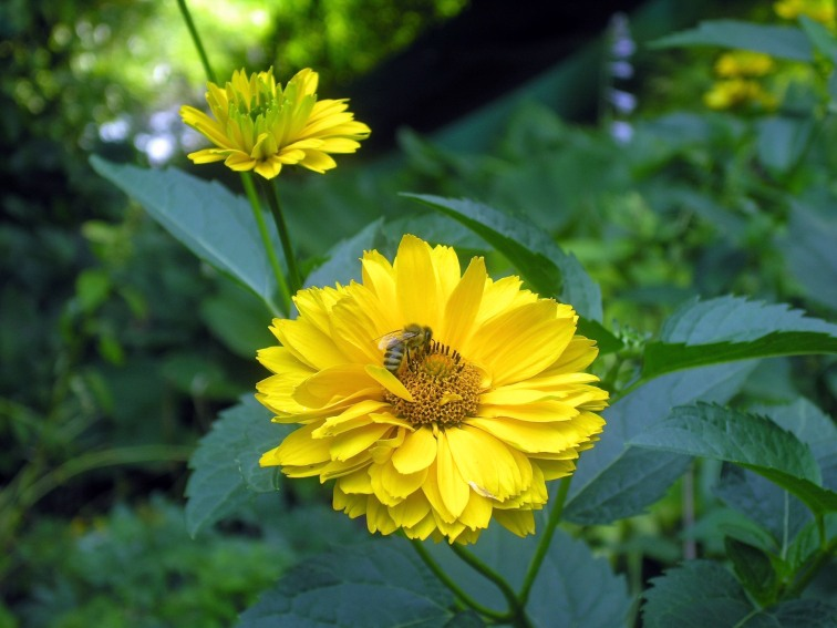 A bumblee bee at work on a beautiful yellow flower in the Monet Garden of Impressionism in Vienna
